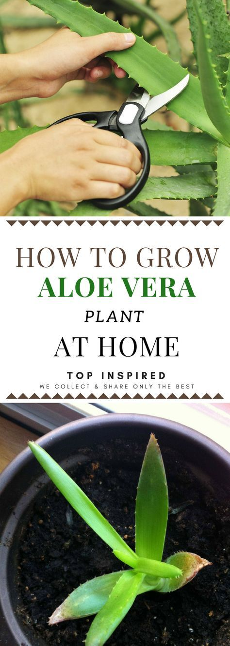 In need of help for growing aloe