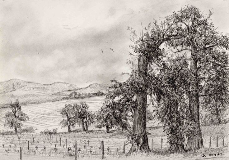 Vineyard of Young Petit Verdot - graphite on paper. 210 x 290 mm. This is a drawing I did while sitting under an oak tree one cool and misty day during my lunch break when I worked on Groot Constantia wine farm. I loved the perspective of the view and the romantic feeling of the old gnarled oak trees set beside the young vineyard. The trees reminded me of a Casper Friedrich painting.