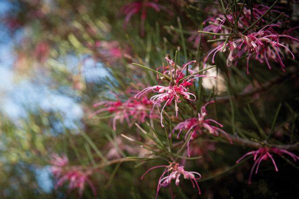 indigenous shrub victoria australia - Google Search