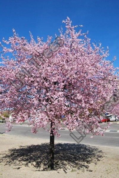Prunus cerasifera 'Nigra' Kirsikkaluumu