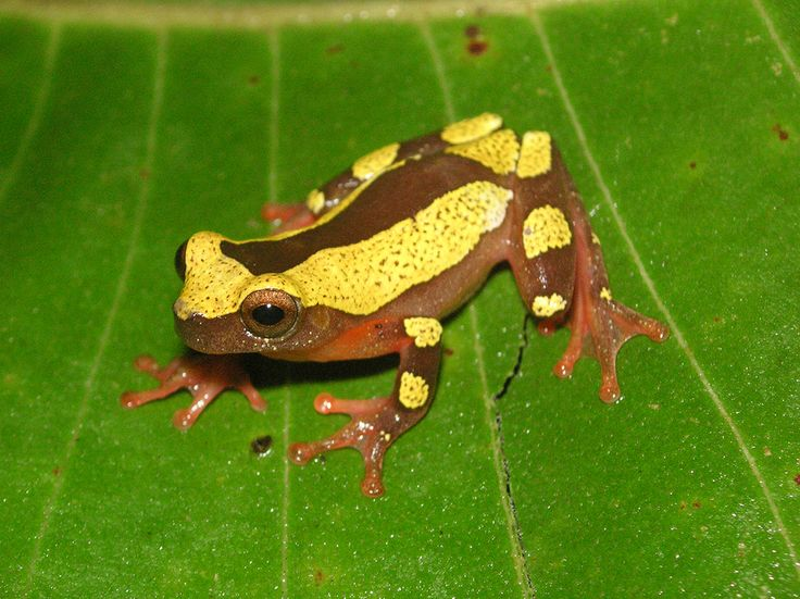So Cute! 2 New 'Clown' Frog Species Discovered in the Amazon | http://sibeda.com/so-cute-2-new-clown-frog-species-discovered-in-the-amazon/