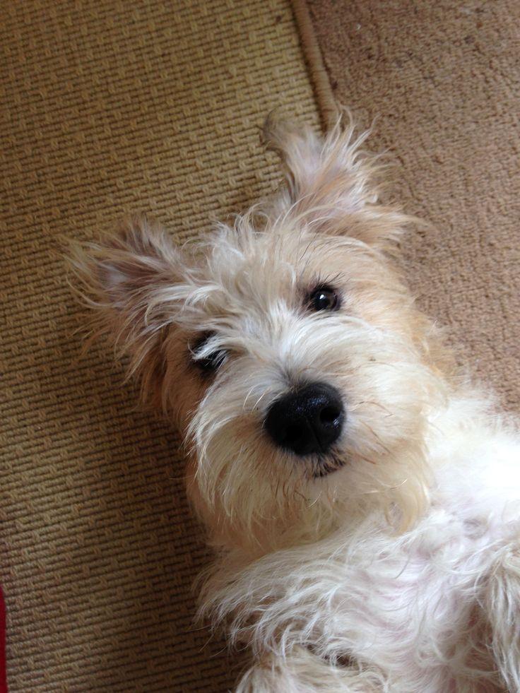 Sporting Lucas Terrier - Tattie