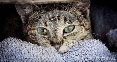 Tabby cat face looking at you with beautiful green  and yellow eyes
