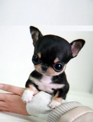 Adorable Little Baby Chihuahua Puppy ~ 20 Dogs absolutely Tiny ... and Absolutely Cute! - You will soon adopt ...