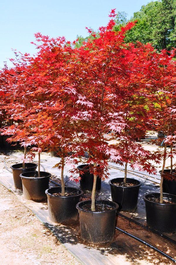 planting caring japanese maples 03 Planting and Caring for Japanese Maples, in pots