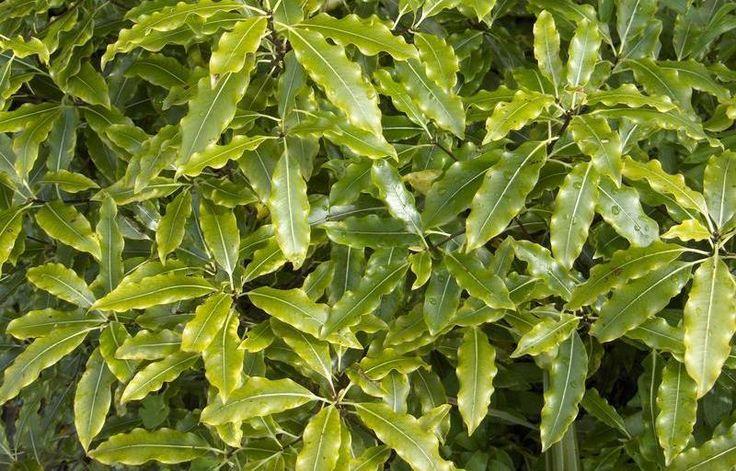 PittoEugenoides1.jpg 800×513 pixels