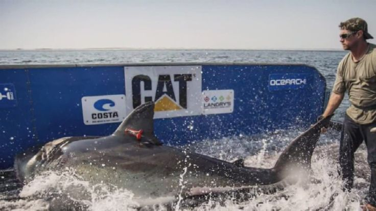 Katherine, The great white shark | News  - Home