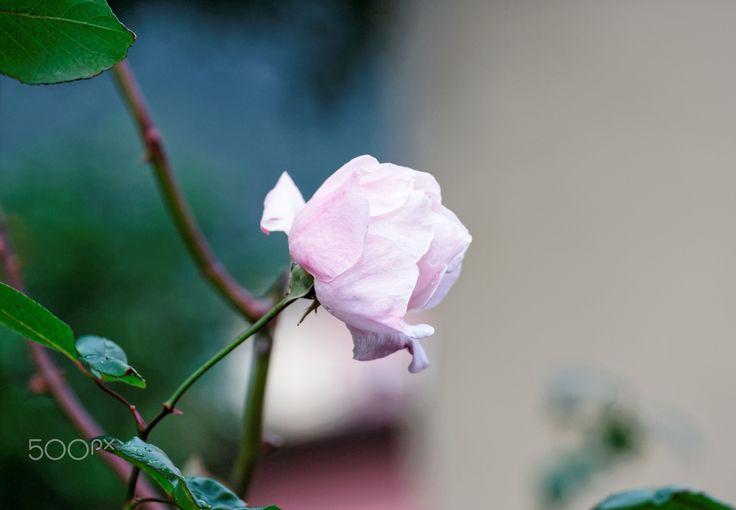 pink rose - detail of pink rose in a garden in la spezia