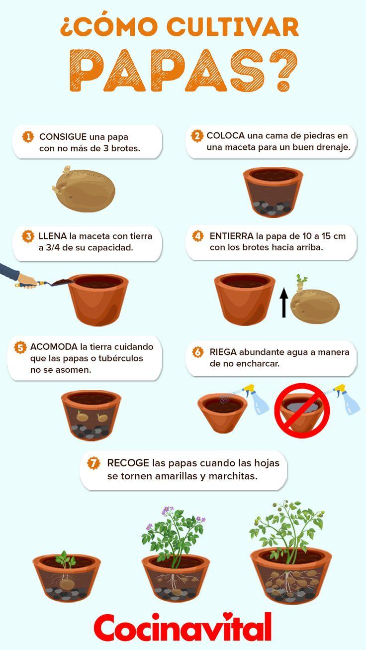 Cómo cultivar papas en maceta desde casa