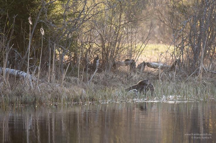 Beavers in the wild. Photo by Frank Kottisch.