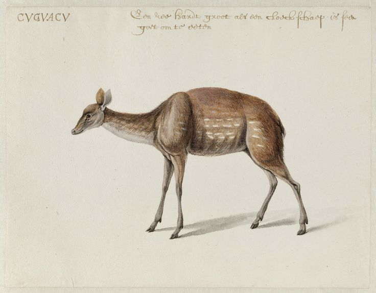 Deer Frans Post (1612–1680), watercolor and gouache, with pen and black ink, over graphite, c. 1638–44. Noord-Hollands Archief, Haarlem