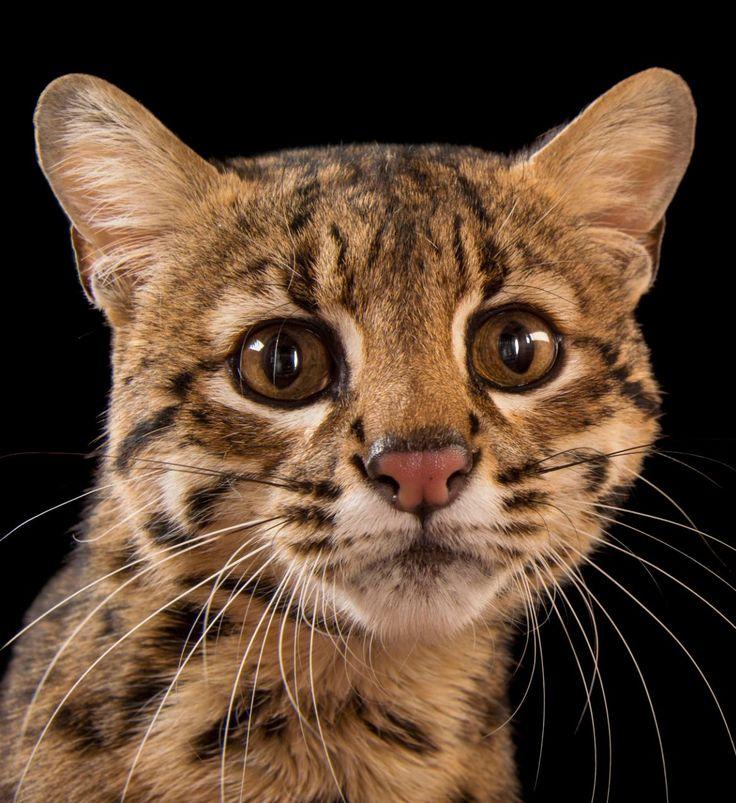 A Geoffroy's cat (Leopardus geoffroyi) at the Cincinnati