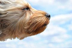 head out the windowDogs With Head Out Of Windows, Yorkie, Davona Douglass, Wind Blowing, Fur, Three Silky, Silky Terriers, Animal, Cairn Terriers