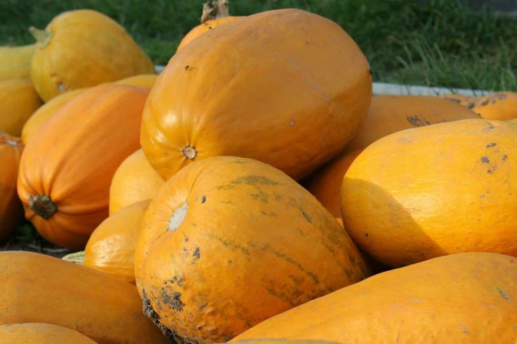 Fertile pumpkin