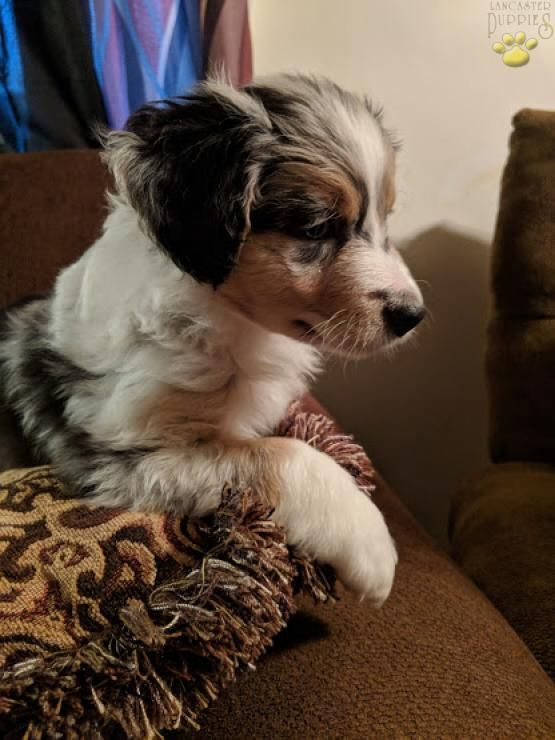 Layla - Australian Shepherd Puppy for Sale in Pittsburgh, PA | Lancaster Puppies #australianshepherdpuppy