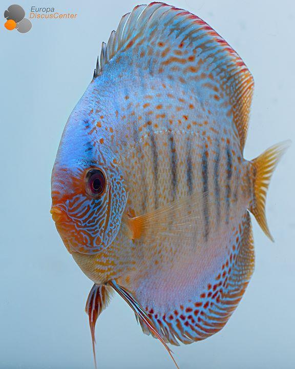 Blue Snakeskin Diskus  #discus #diskusfische #diskus #aquarium #freshwater #EuropaDiscusCenter #discusfarm