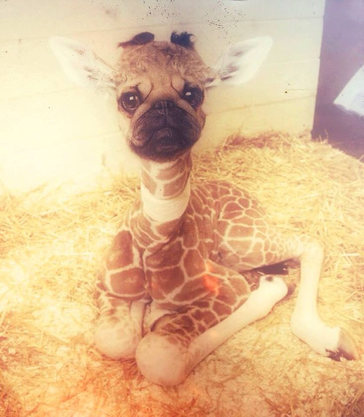 GIRAFFE PUG | PUGS EVERYWHERE | Pinterest | Pug and Giraffes
