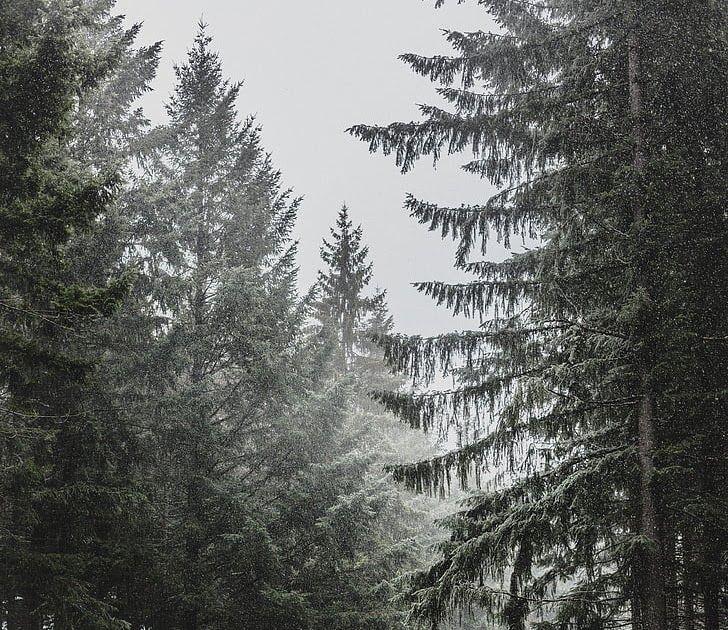 Gambar Hutan Hitam Putih Free Photo Pine Trees Snow Pine Winter Tree Cold Nature Hippopx Wallpaper Sinar Matahari Pohon Hutan S Gambar Hutan Gambar Pemandangan