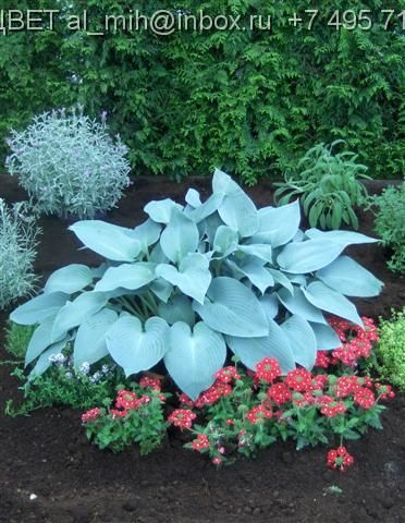 Hosta 'Canadian Blue' this is great to fill in dark spot with their big leaf size.