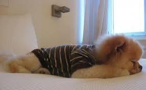 Bildergebnis für boo der süßeste hund der welt