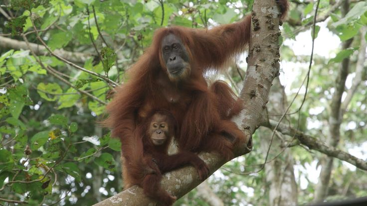 Gober, formerly blind Sumatran orangutan returns to the wild with her unique twins,….but at a price