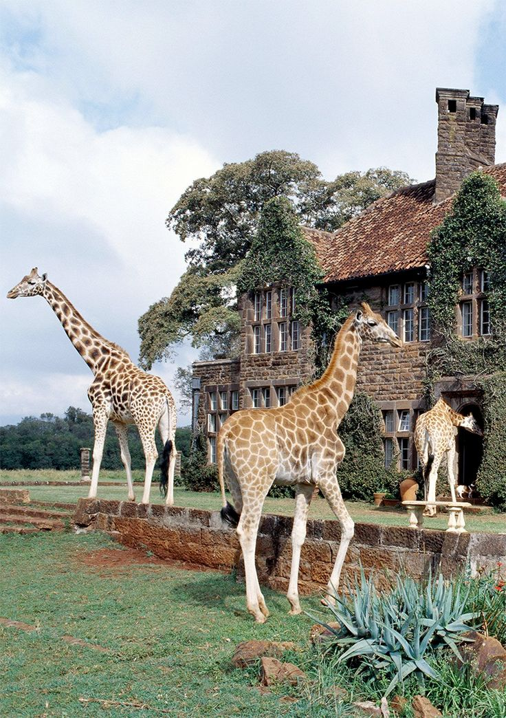 Giraffe Manor in Kenya is a luxury hotel where you can interact with Giraffes!