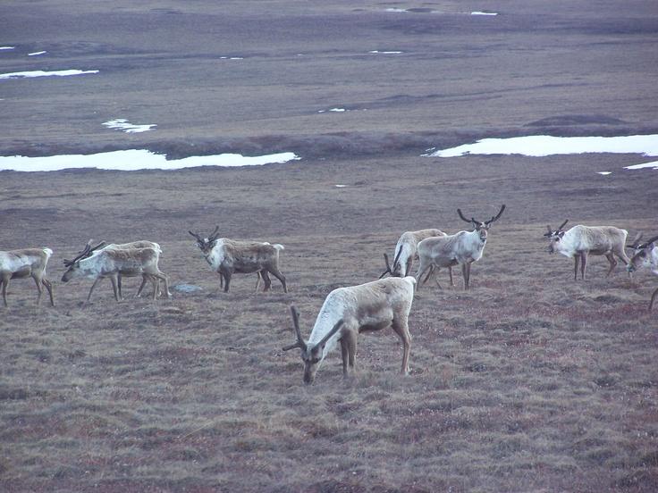 tundra animals - 736×552