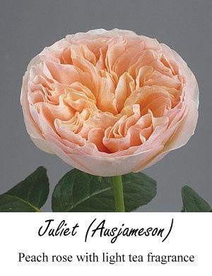 Peach garden rose--I think this is David Austin Juliet