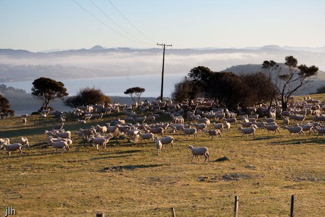 This picture of shorn sheep was taken on the #OtagoPeninsula over looking the Otago Harbour/Harbor. It's a shot we are considering for our calendar. Early mornings do have their rewards!
