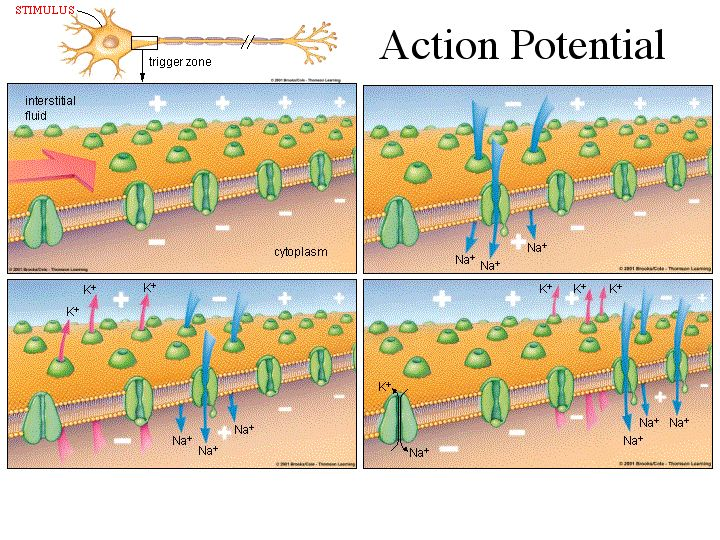 nervous system i action potential This would suggest me that the action potentials of the autonomic nervous  system are coming from the same source their nature is just.