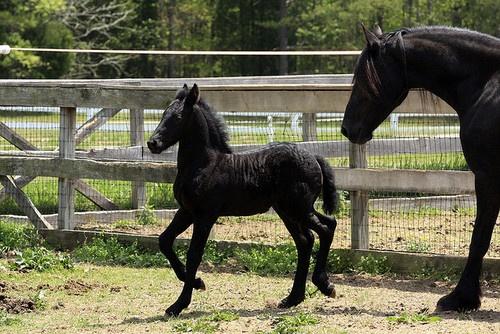 babyBaby Friesian, Beautiful Foals, Baby Horses, Baby Colts, Baby Foals, Baby Ponies, Black Horses, Black Beautiful, Baby Black