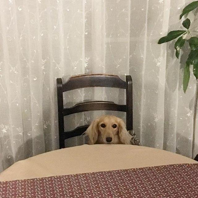 おはよう❤ 🐶ママ、今日の朝ごはんなぁに?  いつもご飯食べる準備は一番乗りです💖  #kyounodachs #ミニチュアダックスフンド #クリーム #クリームダックス #ミニチュアダックスクリーム #犬 #癒し #癒しわんこ #ワンコ #わんこ #愛犬 #ダックス #ダックスフント  #関西ダックス #dog #MiniatureDachshund  #dogstagram #todayswanko  #welovedogsvn #noix #🐶 #all_dog_japan #ペコいぬ部 #followme #ノワ #noix #のあじゃないよのわだよ #胡桃色だからノワ