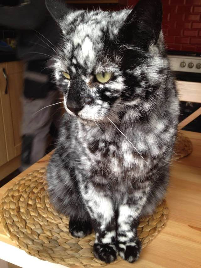 scrappy the cat with extraordinary black and white markings patterns