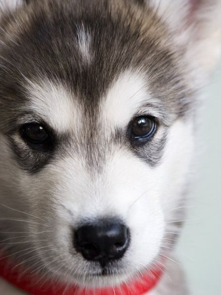 Alaskan Malamute Puppy >> via National Geographic by leah