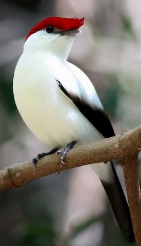 Araipe Manakin - from Brazil and is critically endangered.