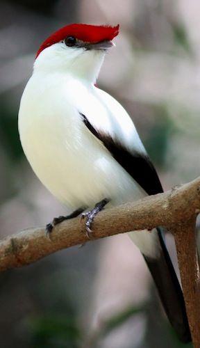 Araripe Manakin, critically endangered, one of the rarest birds in Brazil