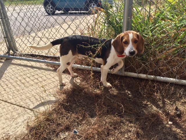 Why Beagles Make Great Pets Beagle Dogs Beagle Dog Adoptable