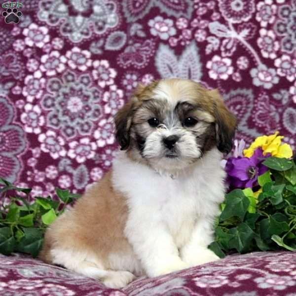 Devon Teddy Bear Puppy For Sale In Pennsylvania Bear Puppy