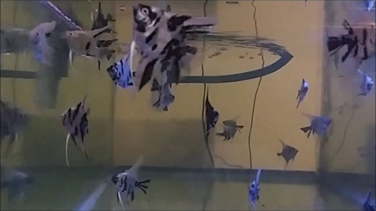Video ikan manfish atau angelfish di akuarium.  Cocok ditonton untuk relaksasi otot dan pikiran.  #ikan #manfish #angelfish #aquarium #akuarium