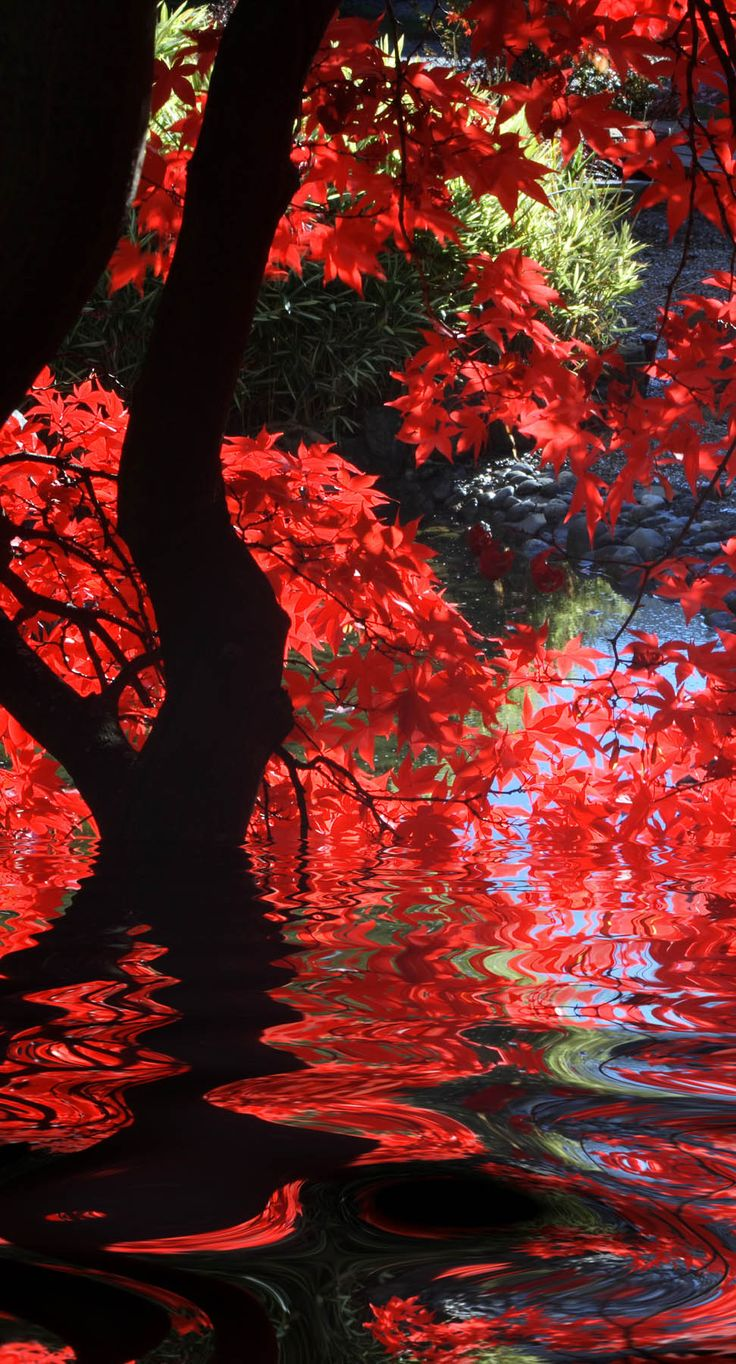 Japanese garden with bright red maple and dark branches.