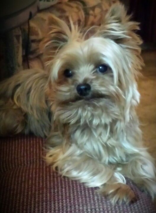 We are looking for a girlfriend for my 3 and 1/2 pound male yorkie Jack Daniels Price,  better know as T. Jack or T.T. He so cute! You just got to LOVE him!