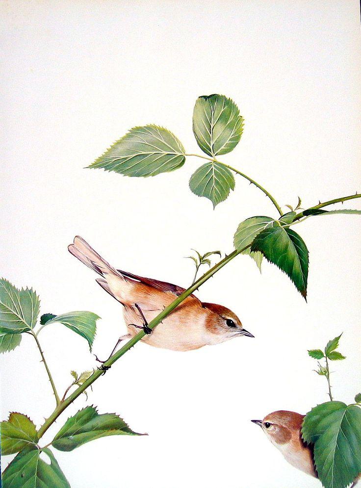 Garden Warbler Blackcap Bird Print 1976 Vintage Book Page