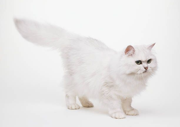 A white Persian (Felis catus) with is bushy tail stretched out, side view