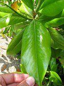 Southern Magnolia Grandiflora | Magnolia grandiflora Magnolia grandiflora Southern magnolia Bomen ...