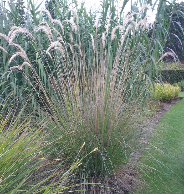 Cortaderia fulvida buchanan zotov syn cortaderia for Landscaping ideas with pampas grass