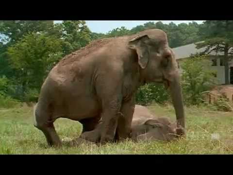 So amazingly touching - the story of Shirley and Jenny, two crippled elephants reunited at The Elephant Sanctuary in Tennessee after a 22-year separation. The bonding was immediate, intense and unforgettable between the two former circus elephants. But long after the cameras were turned off, the wondrous moments would continue