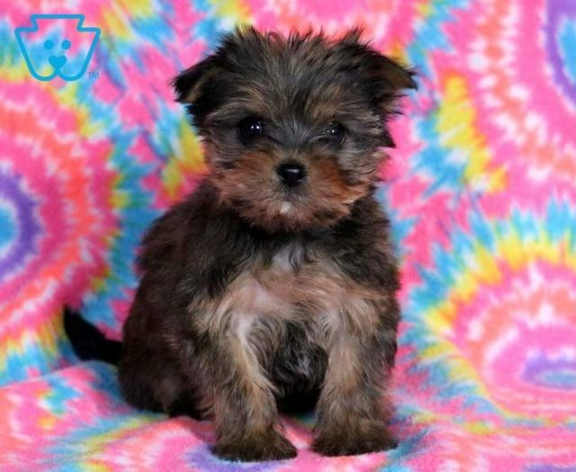 Zoey Shorkie Puppies Shorkie Puppies For Sale Puppies For Sale