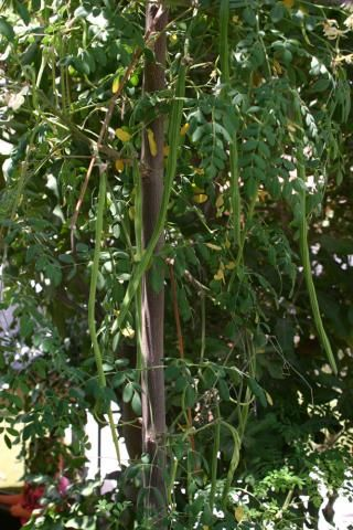 Moringa oleifera http://www.growplants.org/growing/moringa-oleifera
