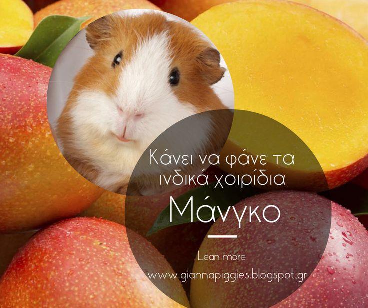 Can guinea pigs eat mango? Κάνει να φάνε τα ινδικά χοιρίδια μάνγκο? Learn more www.giannapiggies.blogspot.gr