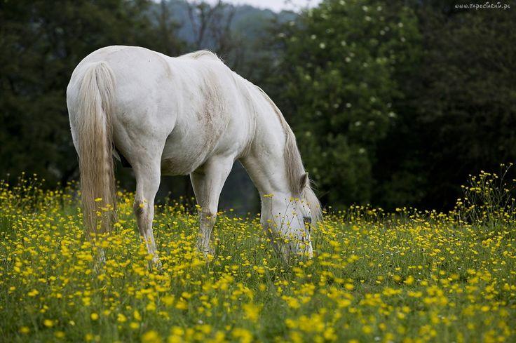 Biały, Koń, Łąka